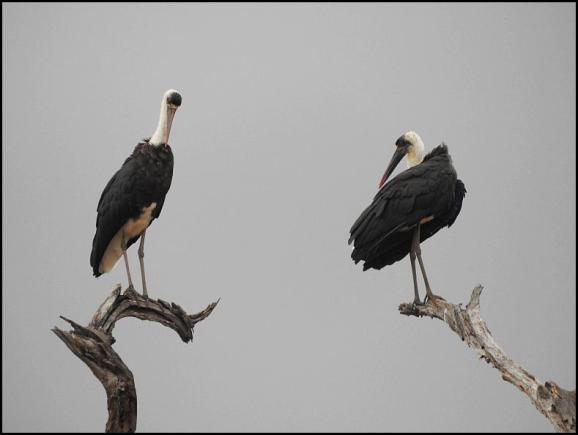 SA Woolly-necked Storks