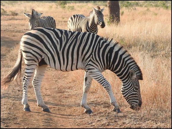 SA Zebras