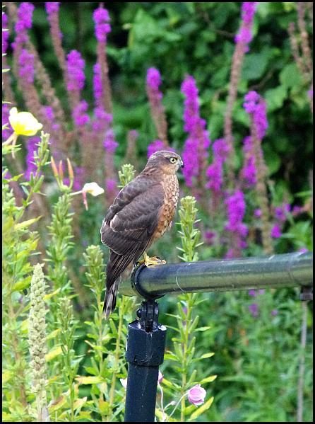 Sparrowhawk 190817