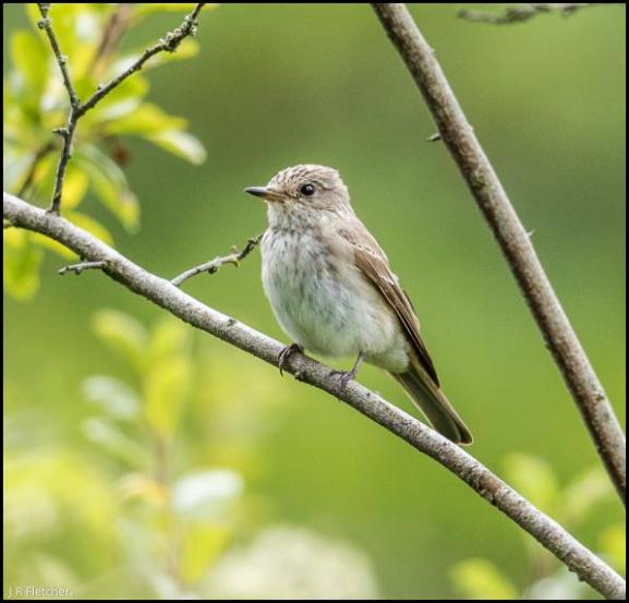 Spotted Flycatcher 190817