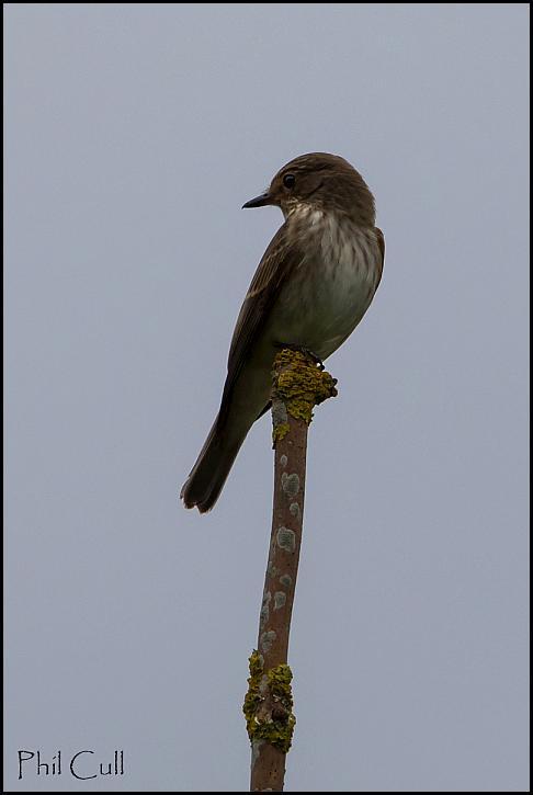 Spotted Flycatcher 220817