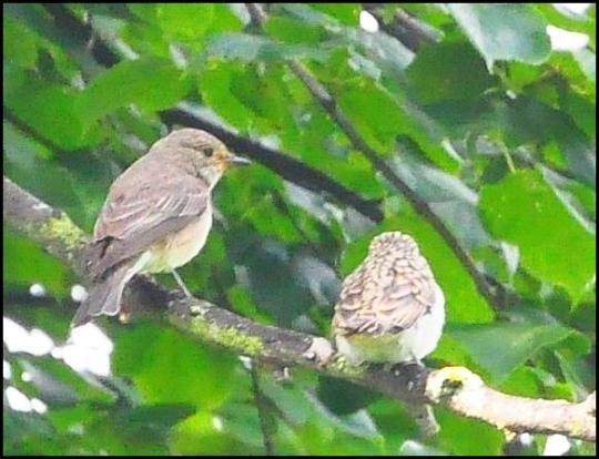 Spotted Flycatchers 060817