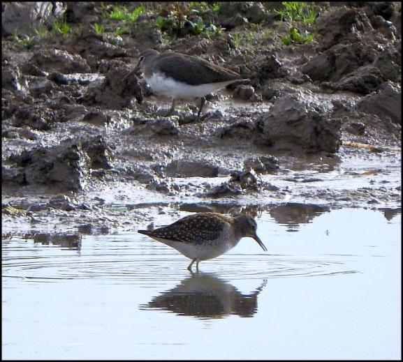 Wood & Green Sandpiper 080817