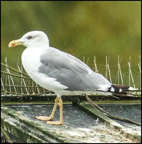 Yellow-legged Gull 300817