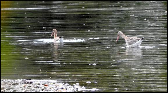 Black-tailed Godwits 210917