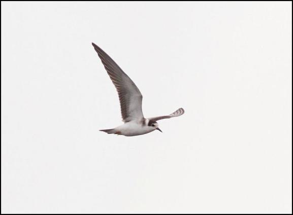 Black Tern 140917