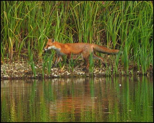 Fox 260917