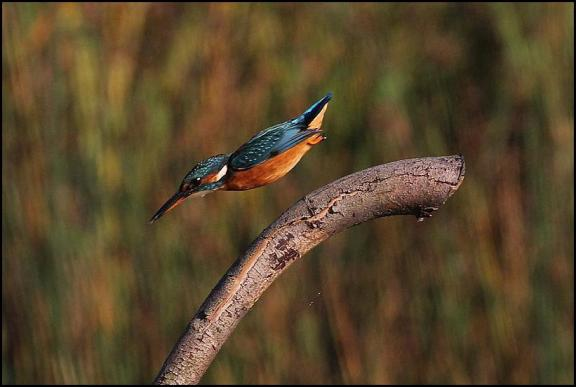 Kingfisher 190917