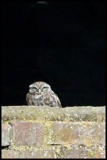 Little Owl 170917