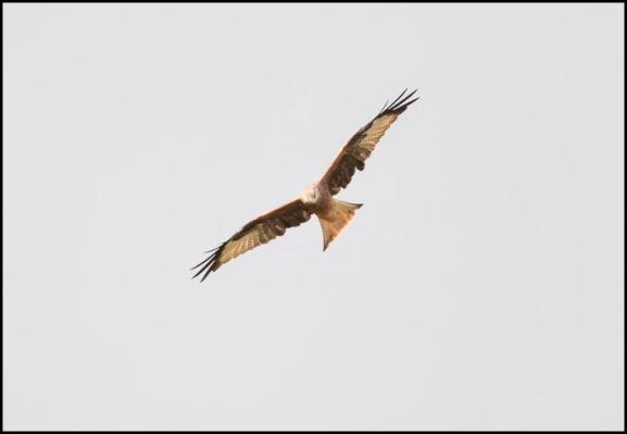 Red Kite 280917