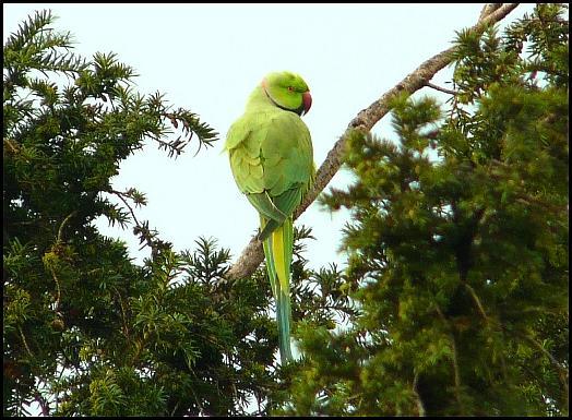 Ring-necked Parakeet 090917