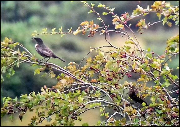 Ring Ouzels 230917