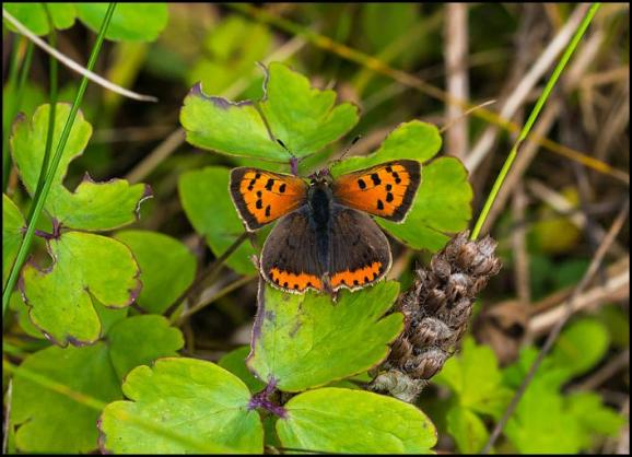 Small Copper 260917