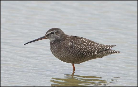 Spotted Redshank 090917