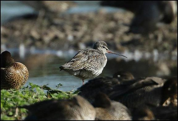 Spotted Redshank 280917