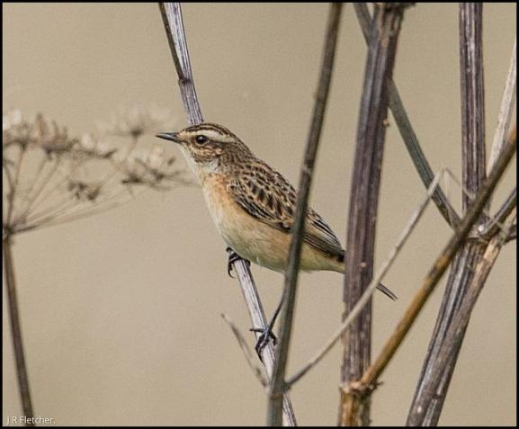 Whinchat 050917