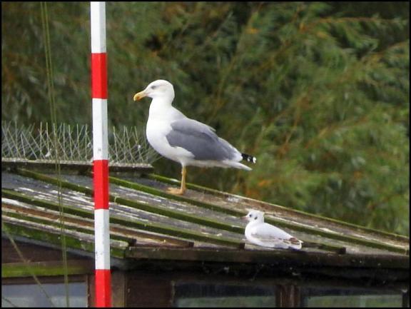 Yellow-legged Gull 210917