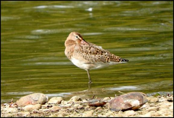 Black-tailed Godwit 061017