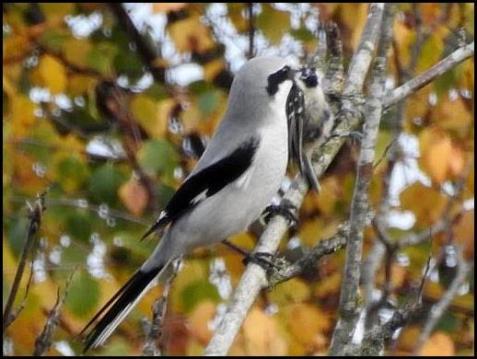 Great Grey Shrike 1 311017