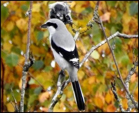 Great Grey Shrike 2 311017