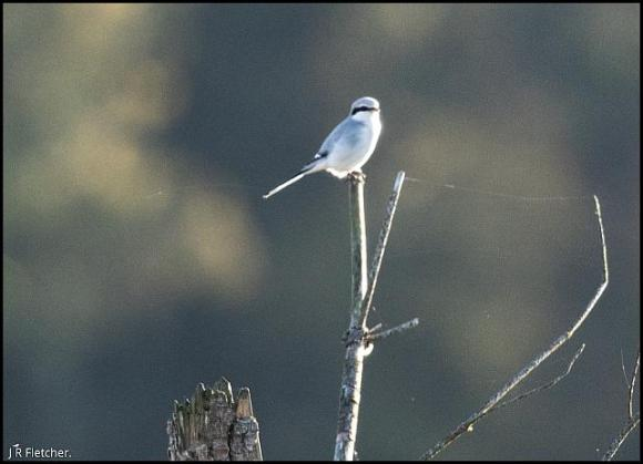 Great Grey Shrike 271017