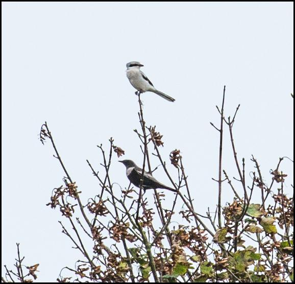 Great Grey Shrike & Ring Ouzel 231017