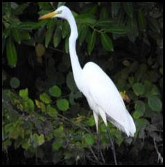 Great White Egret 051017