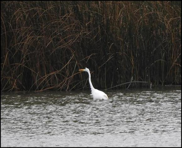 Great White Egret 131017