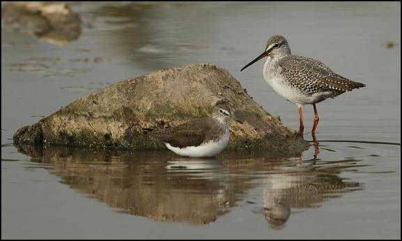 Green Sandpiper & Spotted Redshank 121017