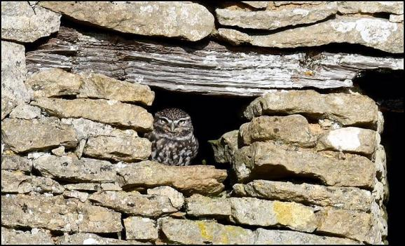 Little Owl 281017