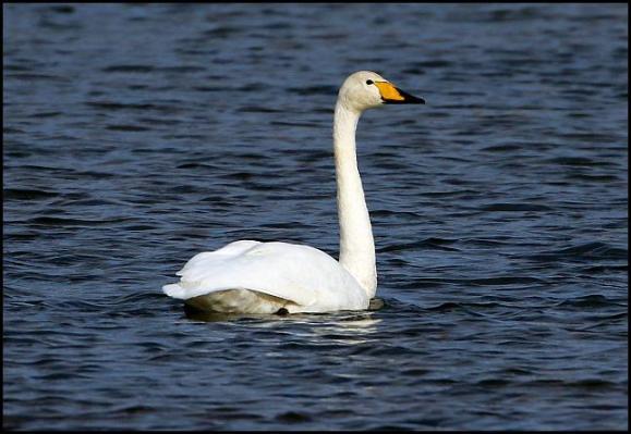 Whooper Swan 291017