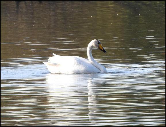 Whooper Swan 301017