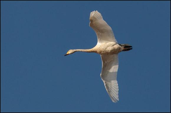 Bewick's Swan 081117