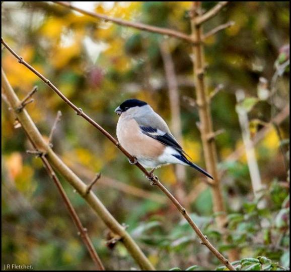 Bullfinch 161117