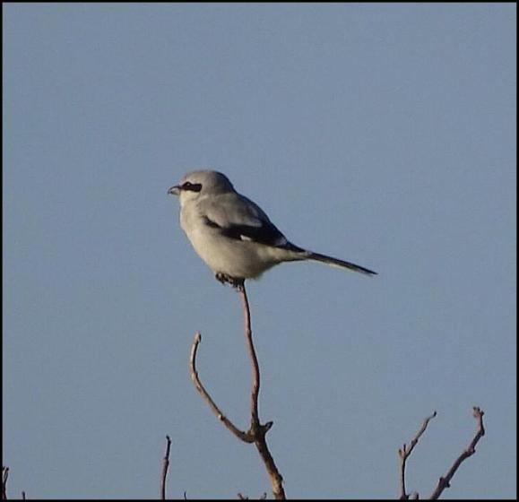 Great Grey Shrike 171117