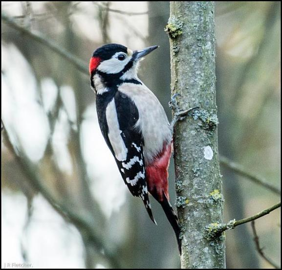 Great Spotted Woodpecker 281117
