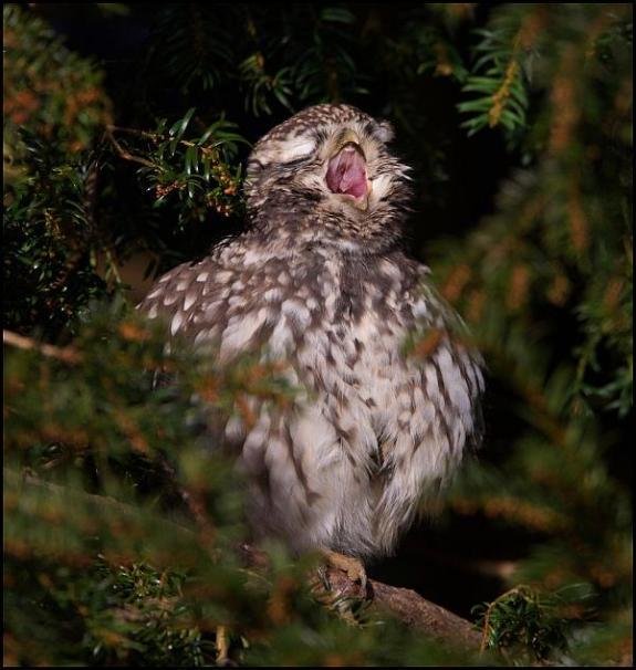 Little Owl 281117