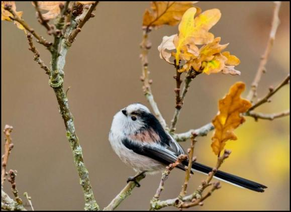 Long-tailed Tit 141117