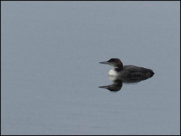 Great Northern Diver 2 261217