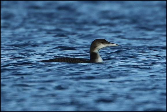 Great Northern Diver 261217