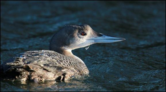 Great Northern Diver 311217.jpg