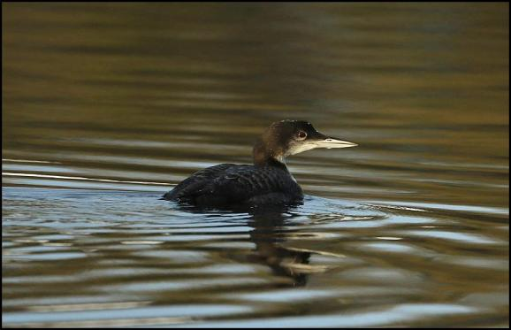 Great Northern Diver 4 121217