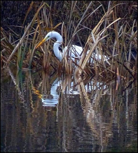 Great White Egret 201217