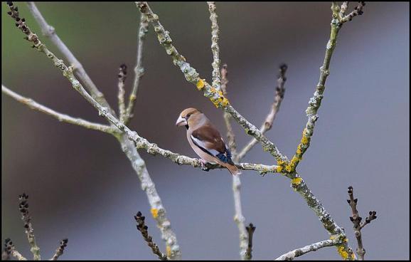 Hawfinch 301217