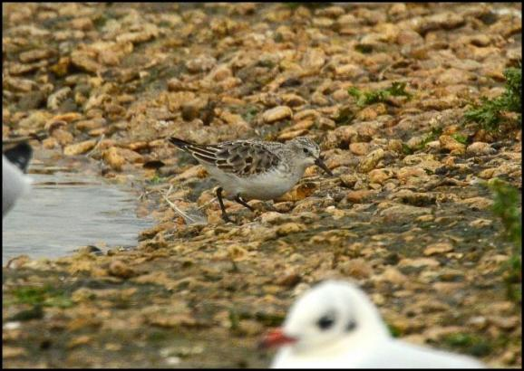 Little Stint 051217