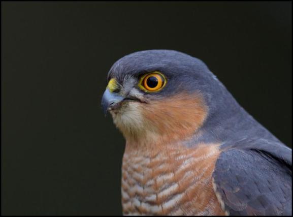 Sparrowhawk 311217