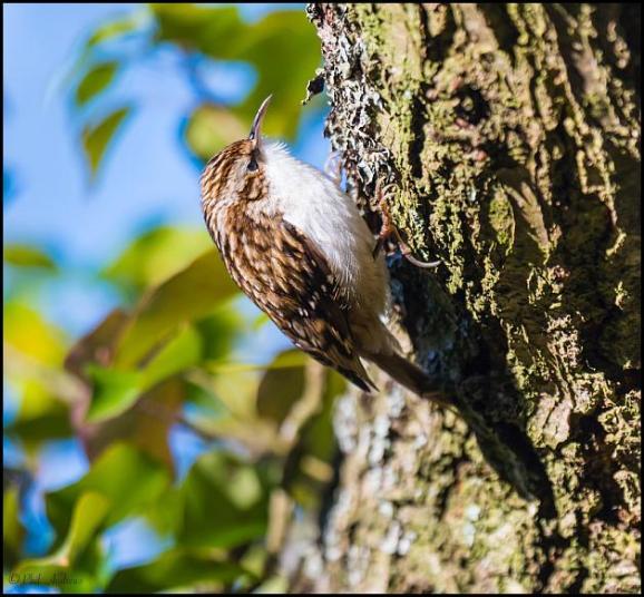 Treecreeper 021217
