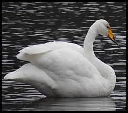 Whooper Swan 021217