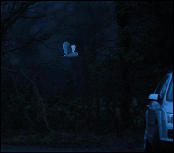 Barn Owl 140118