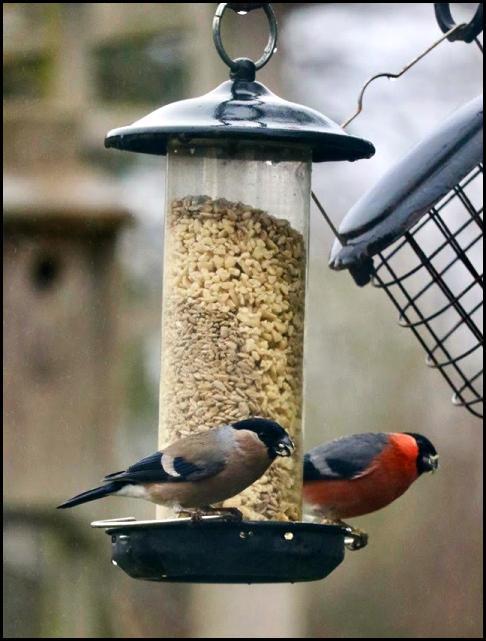 Bullfinches 200118